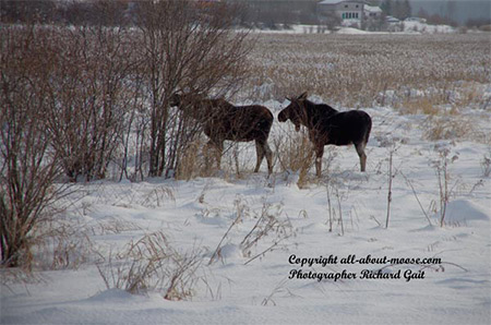 Pictures of Moose Two Young Bulls Checking Each Other Out