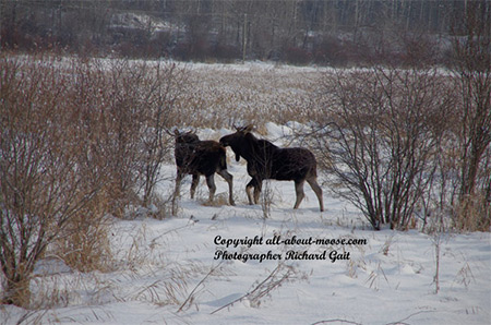 Pictures of Moose Two Young Bulls after Mounting