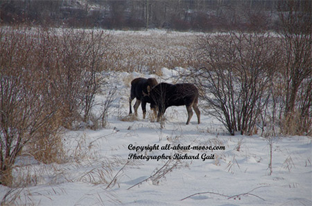 Pictures of Moose Two Young Bulls Head Butting