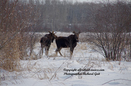 Pictures of Moose Two Young Bulls Taking a Break