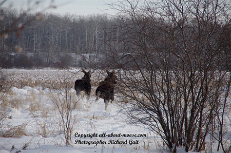 Pictures of Moose Two Young Bulls Getting Spooked Running Away