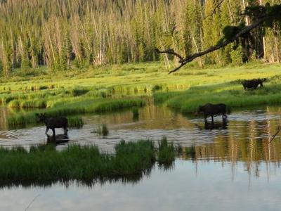 Two Bulls and a Cow Moose in a Swamp