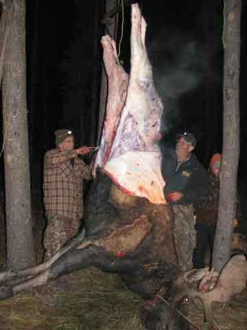 Skinning moose at night