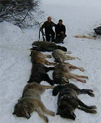 8 Big Wolves from Trapline