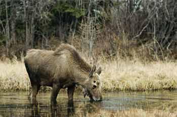 Baby Bull Moose