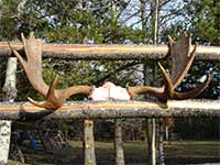 Big Country Outfitters Moose Antlers