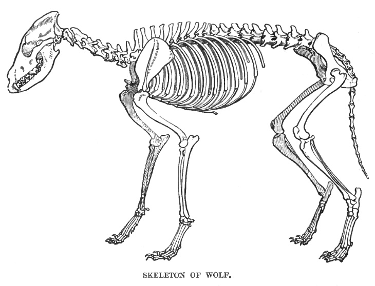 Wolf Skeleton Sketch