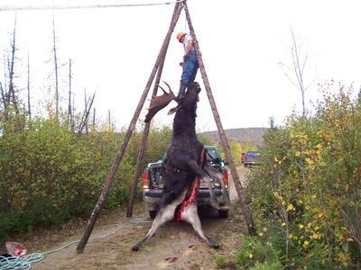 A Big Moose