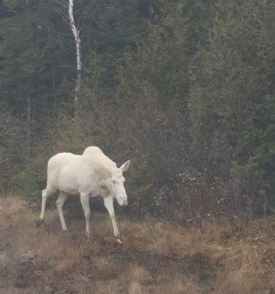 Rare Sighting of an Albino Moose
