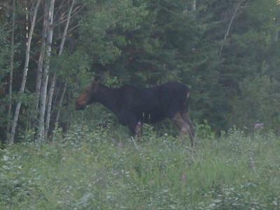 Cow Moose Standing Near The Treeline
