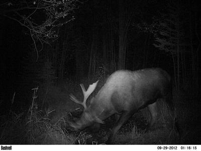 Night time moose encounters.