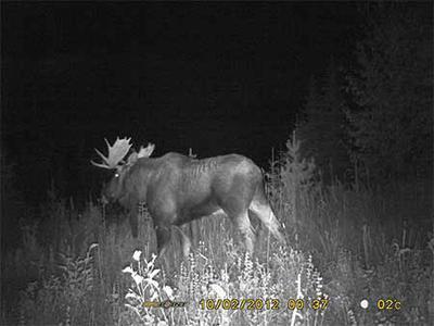 Moose at night!