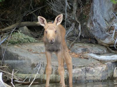 Baby Calf Moose