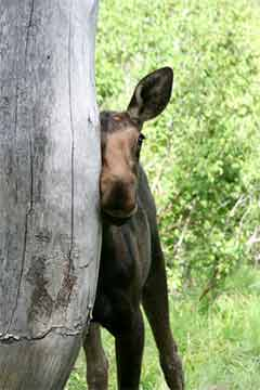 Baby Moose Rubs Against a Tree