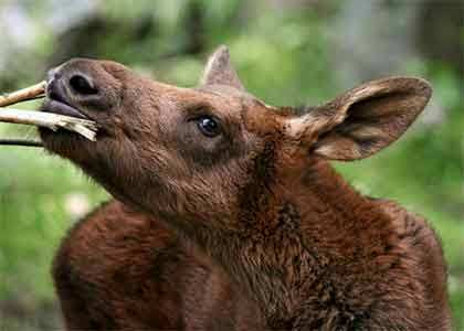 Baby moose twig eater