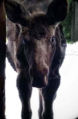 Baby Moose Visitor