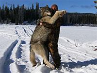 Big Wolf from Trapline
