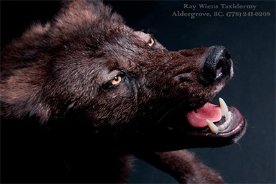Black Wolf Encounter