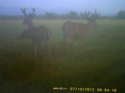 Two Blacktail Deer in the mist