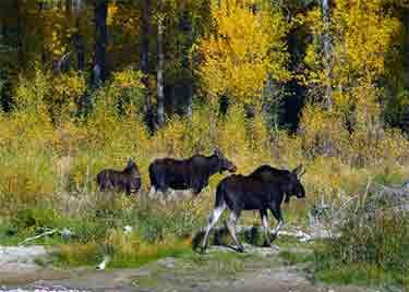 Moose Size Comparison