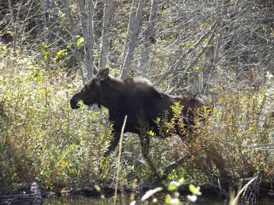 Calf making his/her escape!