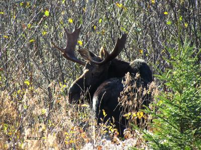 Bull Moose Looking Back