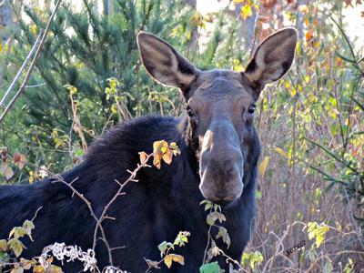 Calm Cow Moose