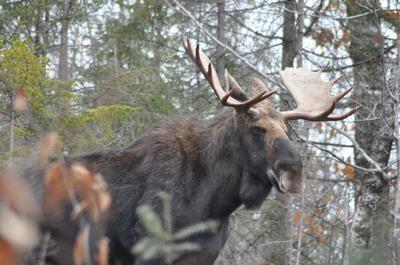 A bull  moose showing signs of being irritated!