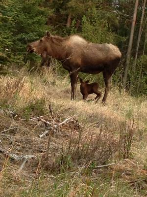 Young Moose Calf <br/> Appears to be standing for the first time