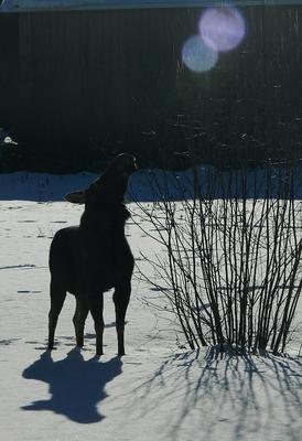 Cow Moose Checking out the Orbs