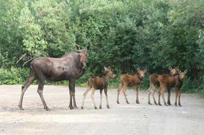 Cow Moose with Four Calves