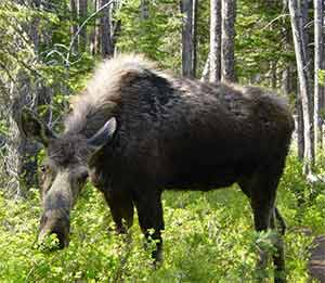 Cow Moose Pictures