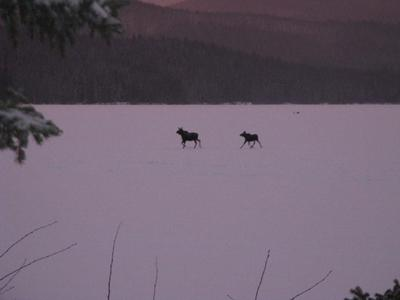 Cow and Calf Moose Crossing a Frozen Lake