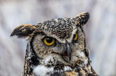 Does a Moose make a Sound like an Owl?