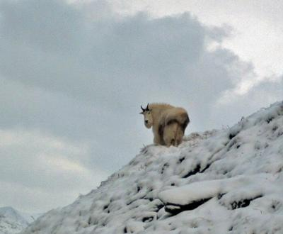 Beautiful Mountain Goat