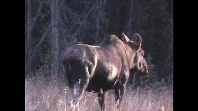 Big Cow Moose