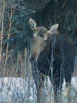 Cow moose during the late season