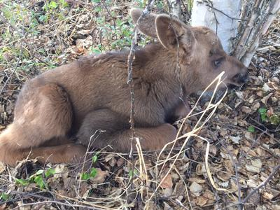 Newborn Moose Calf waits for Mom to Return.