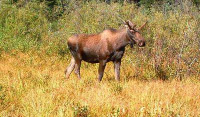 Immature Bull Moose Shows off his Velvet