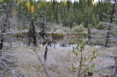 Does the cold weather trigger the moose rut?
