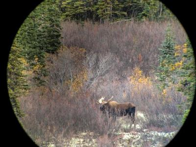 Bull moose standing in the willows