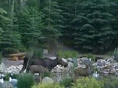 Note the horizontal positioning of the moose compared to the trees