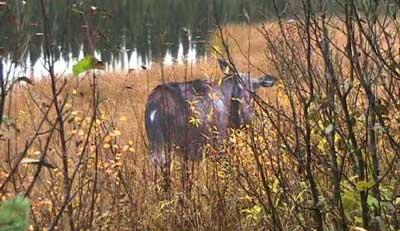 Montana Cow Moose Decoy setup on a grassy area.