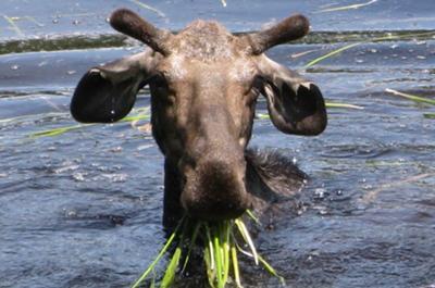 Bullwinkle from Montana