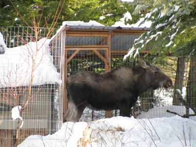 Young Bull Moose - Not Liking His Picture Being Taken?