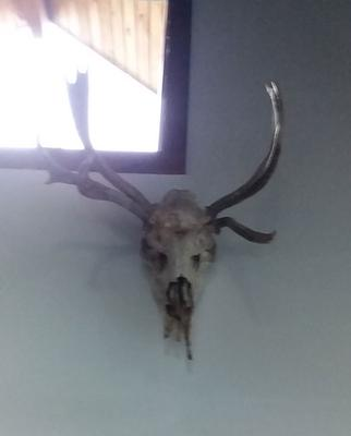 Moose Dead Head with Abnormal Antler Growth - on the wall