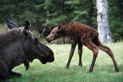 Calf Moose Growth at 45 Minutes