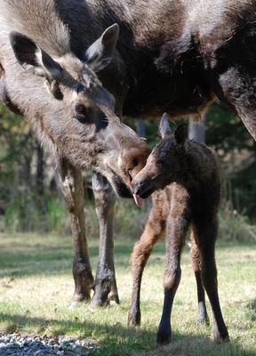 Calf Moose Growth at 60 Minutes