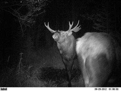 Bull Moose Stretches Neck to Smell if Cow is Ready to Breed