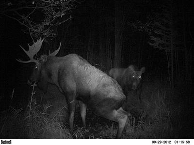 Bull Moose Urinates to Create Scent Pit